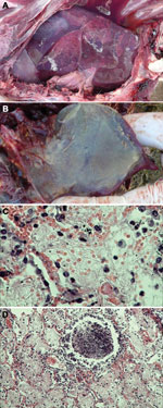 Thumbnail of Pneumonia caused by Mycoplasma capricolum subsp. capripneumoniae in Tibetan antelope (Pantholops hodgsonii), Tibet, 2012. A) Lung of a caprine pleuropneumonia–infected Tibetan antelope (sample SZM2) showing lung hepatization. B) Lung of a caprine pleuropneumonia–infected Tibetan antelope (sample SH3) showing fibrin deposition. C and D) Fibrinous pneumonia with serofibrinous fluid and an inflammatory cell infiltrate, consisting of mainly lymphocytes, in the alveoli (panel C, sample S
